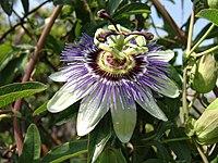 Passiflora caerulea, blå passionsblomma