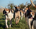 South Wold Hunt foxhounds.jpg