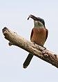 Southern carmine bee-eater, Merops nubicoides, Savuti marsh, Chobe National Park, Botswana (31650328383).jpg