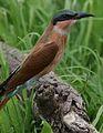 Southern carmine bee-eater, Merops nubicoides, Savuti marsh, Chobe National Park, Botswana (32462176535).jpg