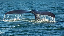 Southern right whale caudal fin-2 no sky.JPG