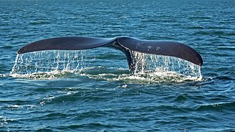 Fin - Cetaceans get thrust moving horizontal tail fins up and down
