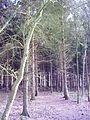 Sparrenbos bij Een - panoramio.jpg