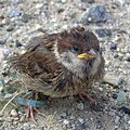 Sparrow chick (2).jpg