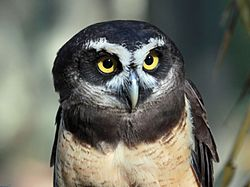 Spectacled Owl RWD1.jpg