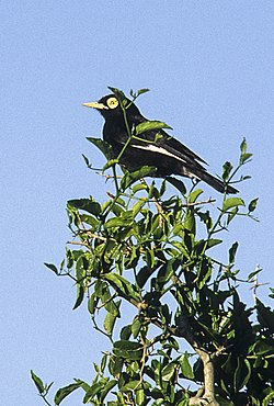 Spectacled Tyrant - Argentina 96 0008 (16916986942).jpg