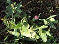 Sphaeranthus indicus 07.JPG