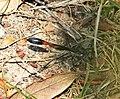 Sphecidae. Ammophila species (38331745992).jpg