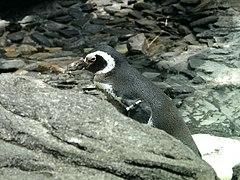 Spheniscus magellanicus Oceanario.jpg