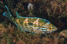 Spicara maena male spawning.jpg