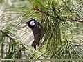 Spot-winged Tit (Periparus melanolophus) (35035097511).jpg