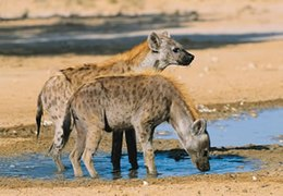 Spotted Hyena - South Africa (2417709037).jpg