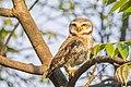 Spotted Owlet Athene brama, Nepal.jpg