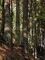 Spruces growing on a slope in Gullmarsskogen ravine.jpg