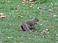 Squirrel-St. James's Park.jpg