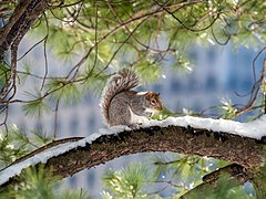 Squirrel in CP (40494).jpg