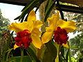 Sri Lanka - Kandy Botanical Garden - Orchids - 04 (1757497946).jpg