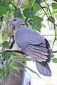 Sri Lanka Wood Pigeon.jpg