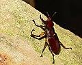 Stag Beetle (48128095618).jpg
