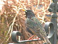 Starling Brightlingsea.jpg