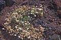Starr-000502-1320-Tetramolopium humile subsp haleakalae-habit-HNP-Maui (23901943853).jpg