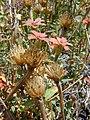 Starr-030424-0108-Zinnia peruviana-flowers and fruit-Puu o Kali-Maui (24263697539).jpg