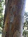 Starr-040812-0082-Eucalyptus sp-bark-Kauhikoa hill-Maui (24087423034).jpg