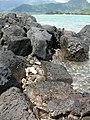 Starr-050419-6501-Terminalia catappa-habitat and pipipi-Mokolii-Oahu (24378516279).jpg