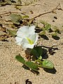 Starr-050618-2544-Ipomoea imperati-habit-Kanaha Beach-Maui (24648469712).jpg