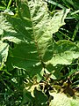 Starr-080601-5138-Solanum torvum-seedling-Community garden Sand Island-Midway Atoll (24885159186).jpg