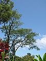 Starr-090623-1529-Adenanthera pavonina-habit-Nahiku-Maui (24671289180).jpg