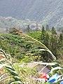 Starr-090803-3580-Arundo donax-flower tassles-Iao Stream Wailuku-Maui (24603349669).jpg