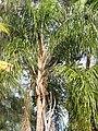 Starr-100113-1236-Syagrus romanzoffiana-habit-Waihee-Maui (24376169734).jpg