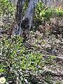 Starr-100218-9091-Erigeron karvinskianus-habit-Helu West Maui-Maui (24892572802).jpg