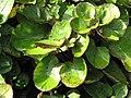 Starr-110215-1128-Polyscias scutellaria-leaves-KiHana Nursery Kihei-Maui (25049329666).jpg