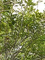 Starr-110307-2280-Cupaniopsis anacardioides-habit-Kula Botanical Garden-Maui (25077925365).jpg
