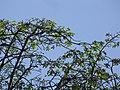 Starr-110330-4314-Pachira aquatica-habit-Garden of Eden Keanae-Maui (24988251191).jpg