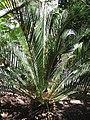 Starr-120522-6046-Macrozamia moorei-habit-Iao Tropical Gardens of Maui-Maui (25049789171).jpg