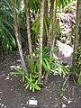 Starr-120522-6430-Licuala spinosa-habit with sign-Iao Tropical Gardens of Maui-Maui (25117359376).jpg