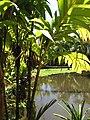 Starr-120522-6449-Pinanga kuhlii-habit-Iao Tropical Gardens of Maui-Maui (25050460451).jpg