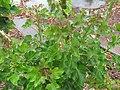 Starr-120620-9740-Jatropha curcas-leaves-Kula Agriculture Park-Maui (25067255162).jpg