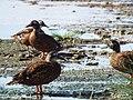 Starr-130911-0987-Cyperus laevigatus-habit with Laysan Ducks-E Lake-Laysan (24596445223).jpg