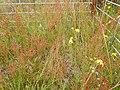 Starr-140603-0651-Rumex acetosella-flowering habit-Polipoli-Maui (24616168833).jpg