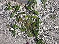 Starr-150325-0397-Verbena litoralis-habit-Charlie Barracks Sand Island-Midway Atoll (25239328466).jpg