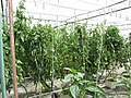 Starr-150326-1650-Solanum lycopersicum-in Hydroponics Greenhouse-Town Sand Island-Midway Atoll (25174382281).jpg