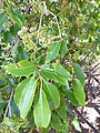 Starr-180820-0330-Syzygium cumini-leaves flowers-Kipahulu Forest Reserve-Maui (29769624837).jpg