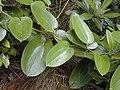 Starr 020808-0053 Smilax melastomifolia.jpg