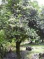 Starr 030807-0115 Posoqueria latifolia.jpg