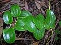Starr 050125-3201 Smilax melastomifolia.jpg