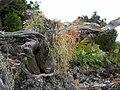 Starr 050423-6754 Bocconia frutescens.jpg